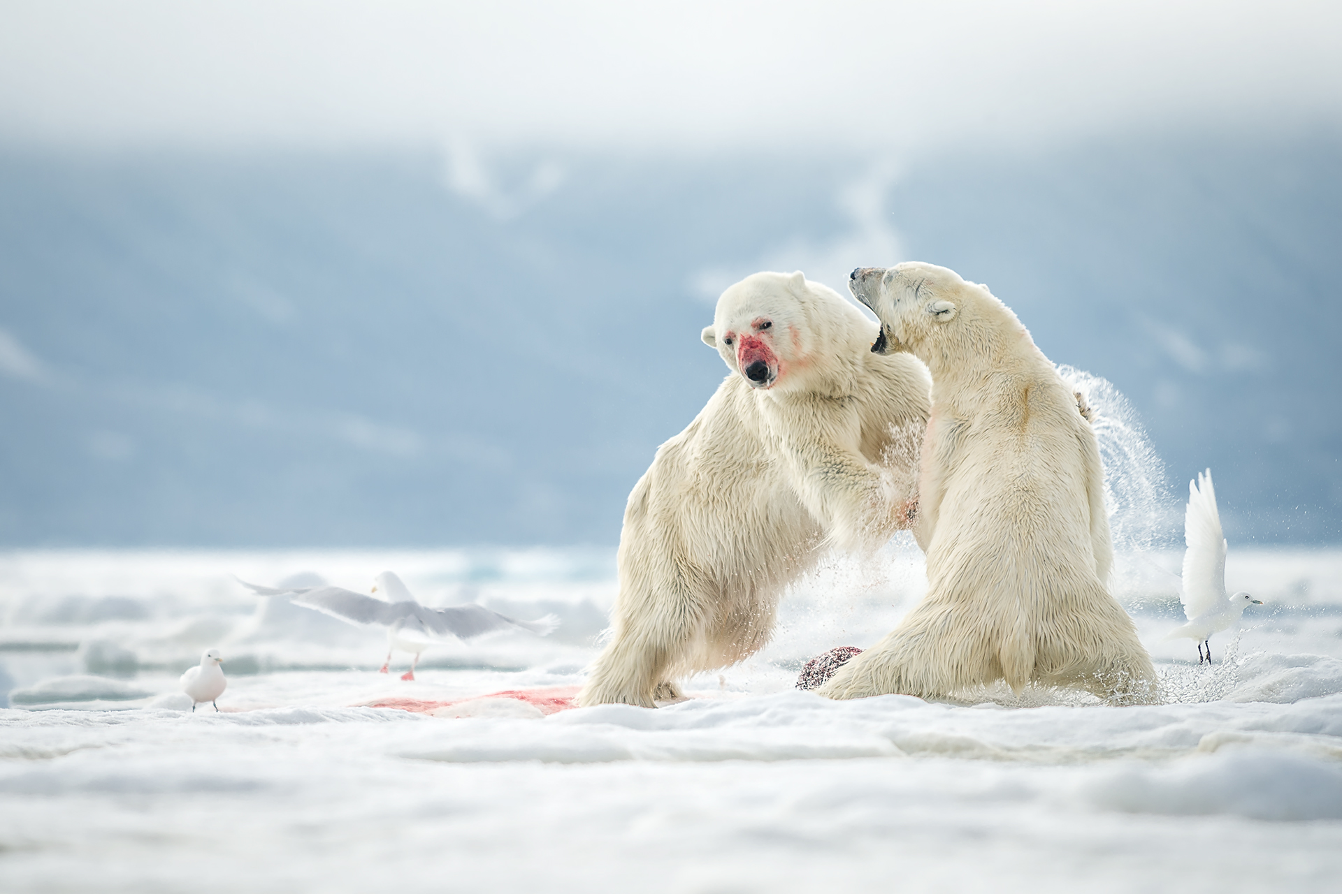 polarbearfight
